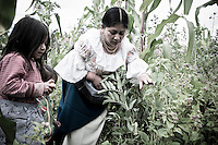 Members of The Pakarinka Sisari Ancestral Wisdom Center near Otavalo, Ecuador, harvest fava beans.