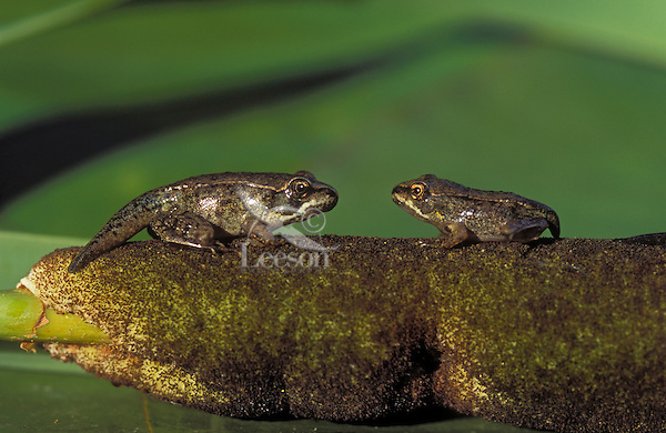 WOOD FROG  froglets on cattail..Most northerly amphibian in world..Summer. Nova Scotia, Canada..(Rana sylvatica)..