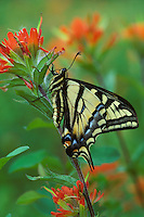 Western Tiger Swallowtail (Papilio rutulus) on paintbrush