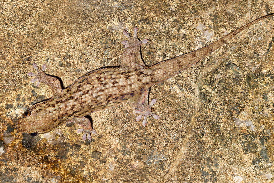 Fish Scale Gecko {Geckolepis maculata} Masoala Peninsula National Park, north east Madagascar.
