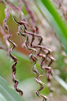 Miscanthus sinensis Zwergelephant