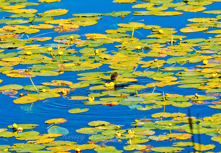 'LILY PAD HUNTER&quot;<br />