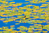 """'LILY PAD HUNTER""""<br /> <br /> (1) 42 X 30 canvas print $4,000<br /> (1) 36 X 24 canvas print $3,200<br /> <br /> 17 x 12.5 signed paper print<br /> 1/50 $145.00<br /> <br /> <br /> <br /> <br /> <br /> <br /> I tiny bird stands poised to pounce upon its prey. Green and yellow lily pads in blue water are its platform."""