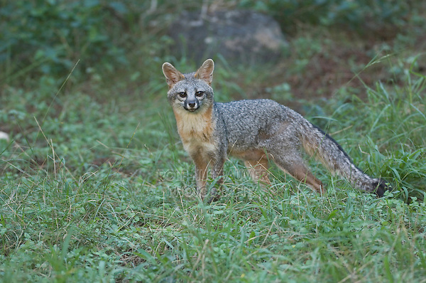 Gray Fox, Urocyon cinereoargenteus, adult resting, Hill Country, Texas, USA