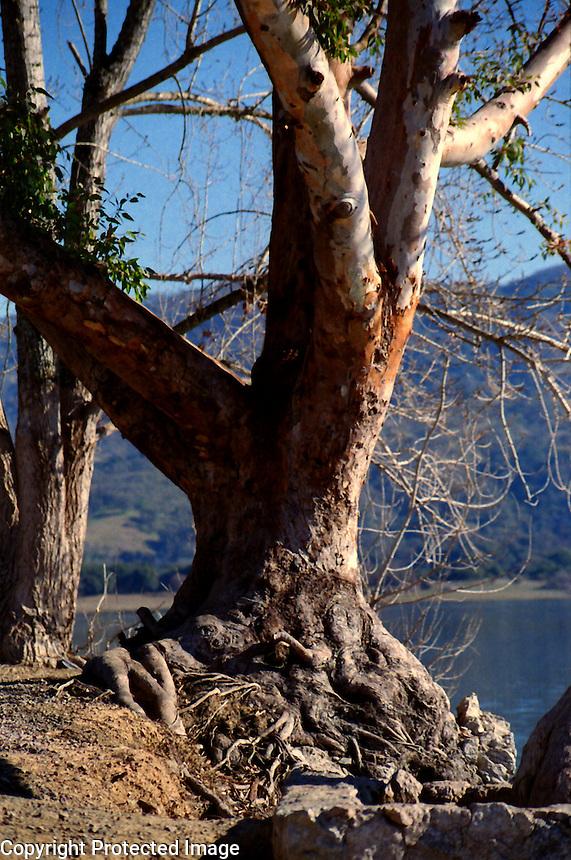 Gnarled tree by Lake Mendocino