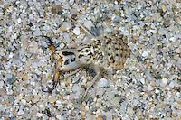 Ameisenlöwe, Acanthaclisis occitanica, Ameisen-Löwe, Ameisenjungfer, Myrmeleontidae, Larve mit spitzen Saugzangen, antlion, antlions