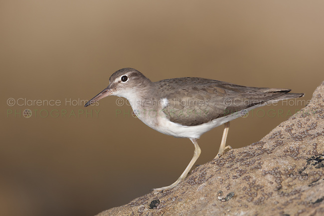 Spotted Sandpiper (Actitis macularius) in winter plumage hunting for insect prey among barnacles on a rock by the seashore in La Jolla, California