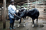 AKUM, CAMEROON - AUGUST 6: Mary Sirri Ndikum, age 54, a dairy farmer, feeds a cow on her farm on August 6, 2009 in Akum, Cameroon. Many small farmers in the area are struggling to cope with low milk prices, expensive inputs and competing with low priced milk powder, that is heavily subsidized by European governments and dumped on international markets such as in Africa. Mary owns several dairy cows, delivers fresh milk everyday and makes her own yogurt. (Photo by Per-Anders Pettersson).....