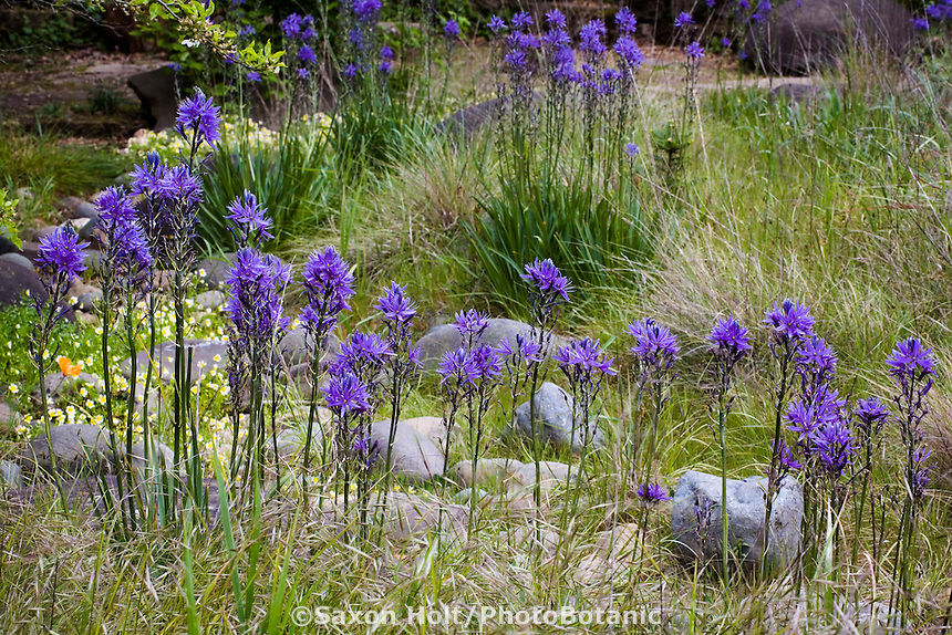 Blue flowering native California bulb wildflower Camas Lily ( Camassia quamash) in drought tolerant spring meadow garden with grasses