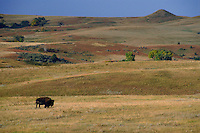 American bison (Buffalo)<br />