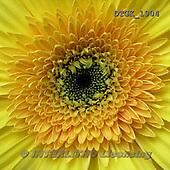 Gisela, FLOWERS, BLUMEN, FLORES, photos+++++,DTGK1904,#f#