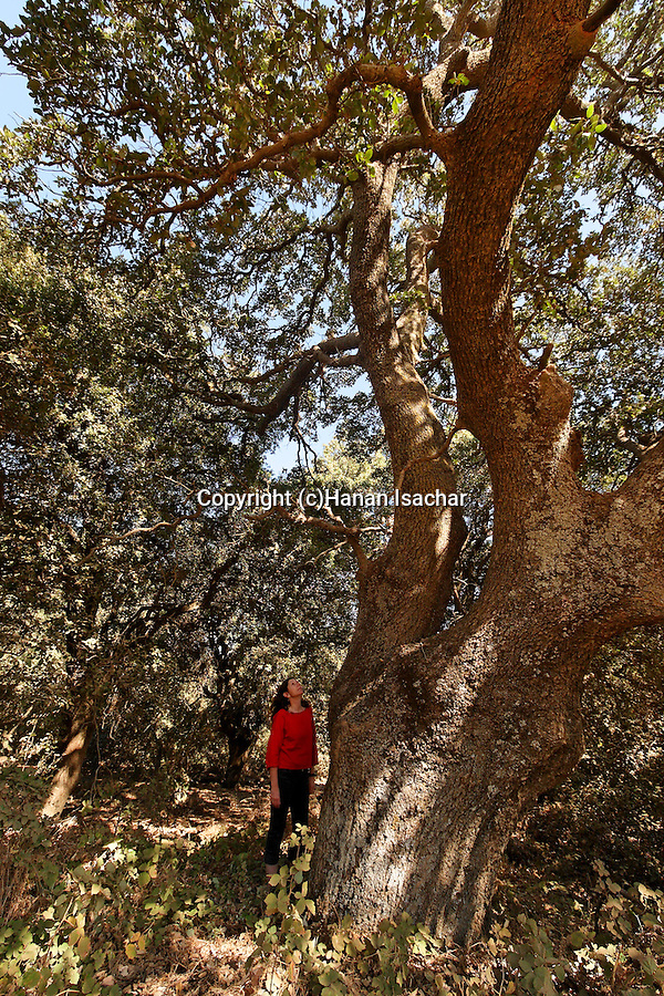 The Golan Heighta. Mount Tabor Oak (Quercus ithaburensis) at the Circassian cemetery near Marom Hagolan