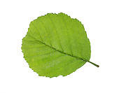 Schwarz-Erle, Schwarzerle, Erle, Alnus glutinosa, Common Alder, Aulne glutineux. Blatt, Blätter, leaf, leaves
