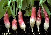 HS32-004b   Radish - tap root - D'Avignon variety