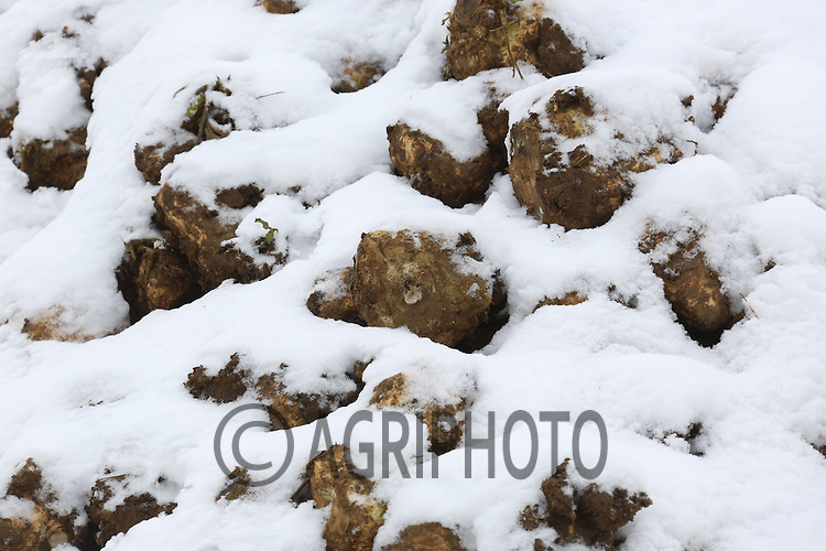 Sugar Beet in the clamp with snow on it.Picture Tim Scrivener date taken 19th January  2012.mobile 07850 303986 e-mail tim@agriphoto.com.....covering agriculture in the Uk....