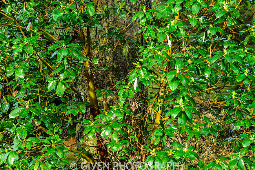 Madrona Tree, Seattle, Washington