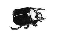 Driehoornmestkever (Typhaeus typhoeus)