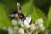 Gemeine Waldschwebfliege, Wald-Schwebfliege, Gemeine Hummel-Schwebfliege, Weißbindige Hummelschwebfliege, Hummelschwebfliege, Blütenbesuch, Volucella pellucens, Pellucid Hoverfly, Pellucid Fly