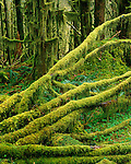 Olympic National Park, WA     <br /> Moss covered fallen alders on the rainforest floor Quinault Valley Rainforest