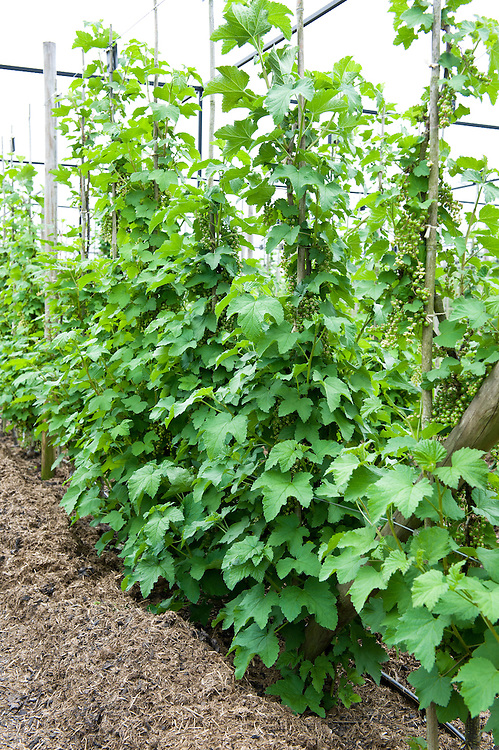 A row of redcurrant cordons tied in to a framework of canes and horizontal wires. A ground mulch of farmyard manure has been spread around the base of their stems.