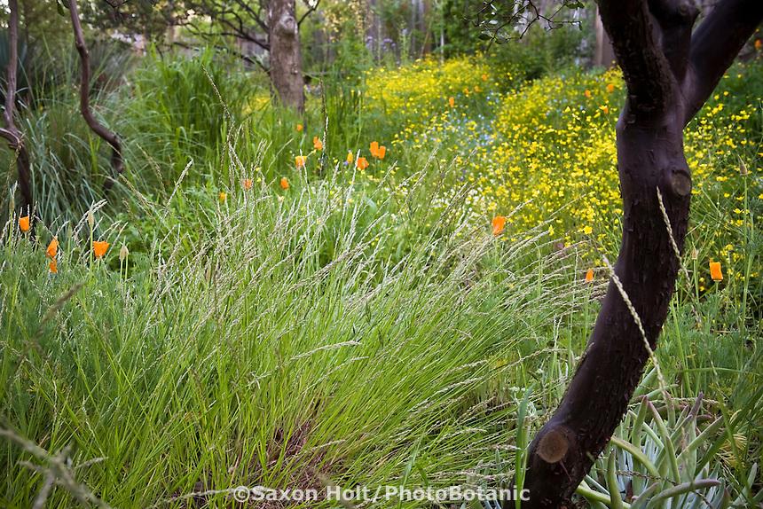 California native grass, smallflower melic grass, Melica imperfecta in  Phil Van Soelen spring meadow garden California native plants