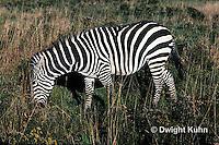 MA38-006z  Zebra - Equus spp.