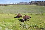 Buffalo, or Bison, in Yellowstone National Park, Wyoming
