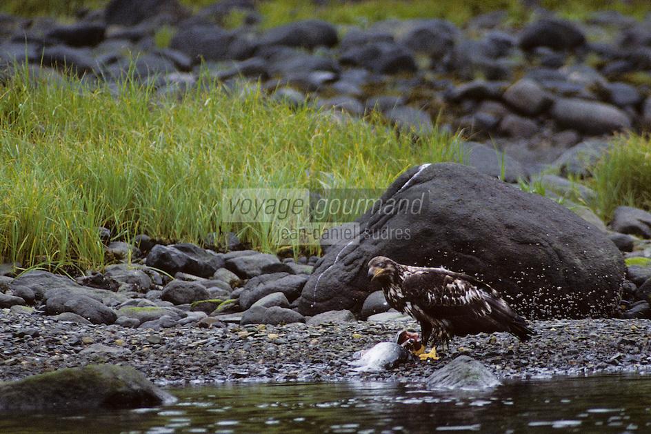 USA/Etats-Unis/Alaska/Env de Petersburg : Aigle à la pêche aux saumons