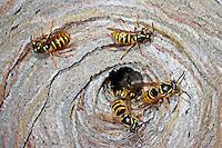 Sächsische Wespe, Nest, Wespennest, Kleine Hornisse, Dolichovespula saxonica, Vespula saxonica, Saxon wasp, wasps' nest, vespiary, Faltenwespen, Papierwespe, Papierwesen, Vespidae