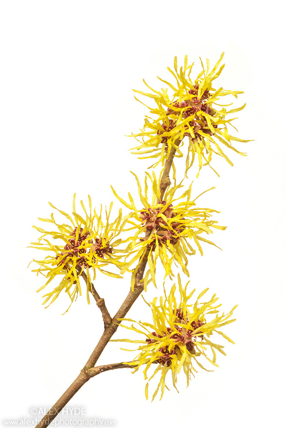 Witch hazel flowers, studio shot with white background. Witch hazel hydrosol is used in skin care.