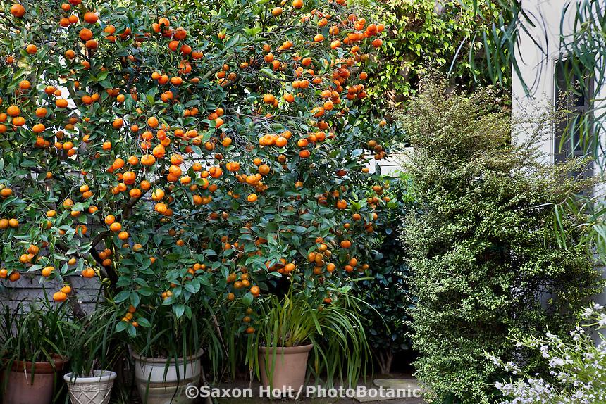 Orange tree with fruit in backyard Southern California garden