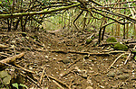 Kuamo'o-Nounou Trail winding through a tangle of trees, Kauai, Hawaii