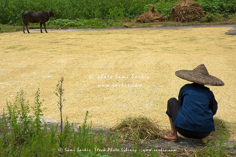 Old woman checking harvested rice drying on the ground, Yangshuo, Guangxi, China.