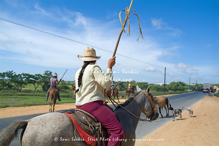 Cowboys herding cattle in the middle of a rural road in Cuba.