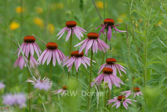 purple coneflower 2 echinacea