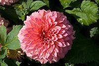 Dahlia 'Hamari Rose'