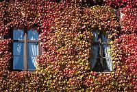 Deutschland, Bayern, Mittelfranken, Altmuehltal, Markt Colmberg: Fenster umwachsen von der Selbstkletternden Jungfernrebe (Parthenocissus quinquefolia), auch Wilder Wein genannt | Germany, Bavaria, Middle Franconia, Altmuehl Valley, Colmberg: windows and Virginia Creeper (Parthenocissus quinquefolia)