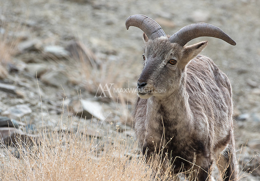 Bharal, or blue sheep, are perhaps the most common of the wild ungulates seen in Hemis National Park.