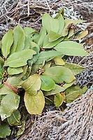 Europe/France/Provence-Alpes-Côte d'Azur/06/Alpes-Maritimes/Nice:  Bouquet Garni et Herbes de Provence sur le marché du Cours Saleya