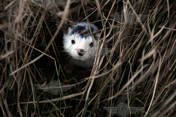 A mink looks through the grass after activists from the Animal Liberation Front (ALF) broke into a mink farm in order to release some 2,500 minks into the wild.