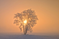 Hoarfrost covered Plains cottonwood tree in fog at sunrise<br />