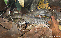 0503-1102  King Cobra (India, Largest Venomous Snake in the World), Ophiophagus hannah  © David Kuhn/Dwight Kuhn Photography