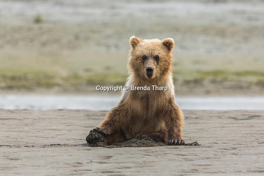 Immature coastal grizzly bear (ursus arctos) sits on beach. Lake Clark National Park, Alaska.