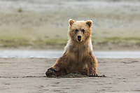 Immature coastal grizzly bear (ursus arctos) sits on beach. Lake Clark National Park, Alaska.