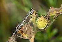 320240009 a wild female familiar bluet enallagma civile perches on a plant stem in pintail slough havasu national wildlife refuge arizona united states