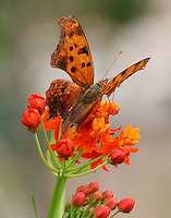 Eastern comma on butterfly weed
