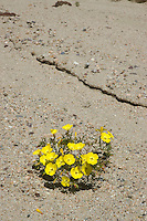 Mojave sun cup, Camissonia campestris, Red Rock Canyon State Park, California