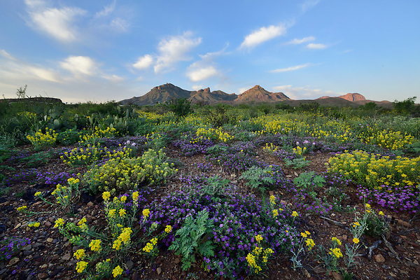 , desert in bloom, Big Bend National Park, West Texas, USA