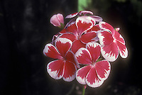 Pelargonium Mr Wren, dramatic old annual geranium, red with white picotee edges