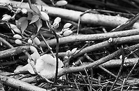 """Black & white fine art stock image of fallen flower lying among dry twigs.<br /> <br /> View the gallery - """"Conceptual - Nature"""" for the color version of this image."""